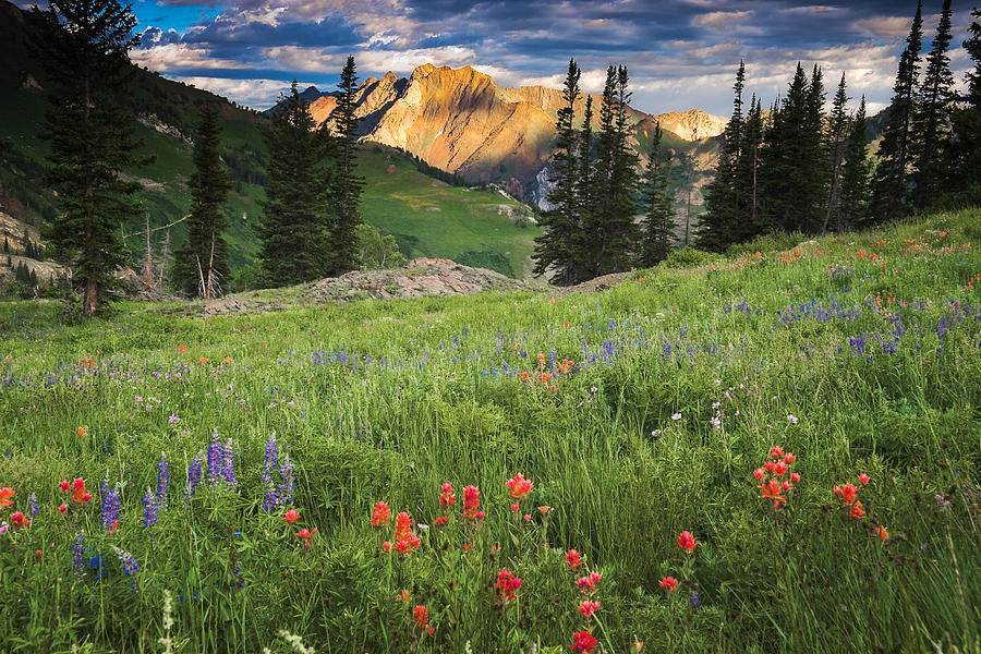 Meadows Photograph - Albion Basin Wildflowers by Utah Images