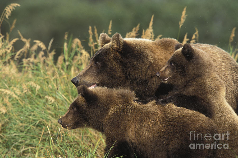 Alert Bear Family Photograph by Tim Grams