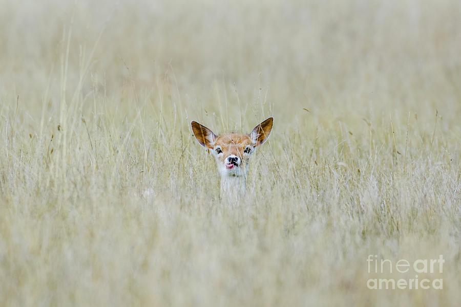 Baby Photograph - Alert Fallow deer fawn - Dama dama - laying long in the long grass by Paul Farnfield