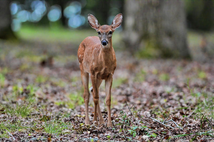 Deer Photograph - Alert Fawn Deer In Shiloh National Military Park Tennessee by WildBird Photographs