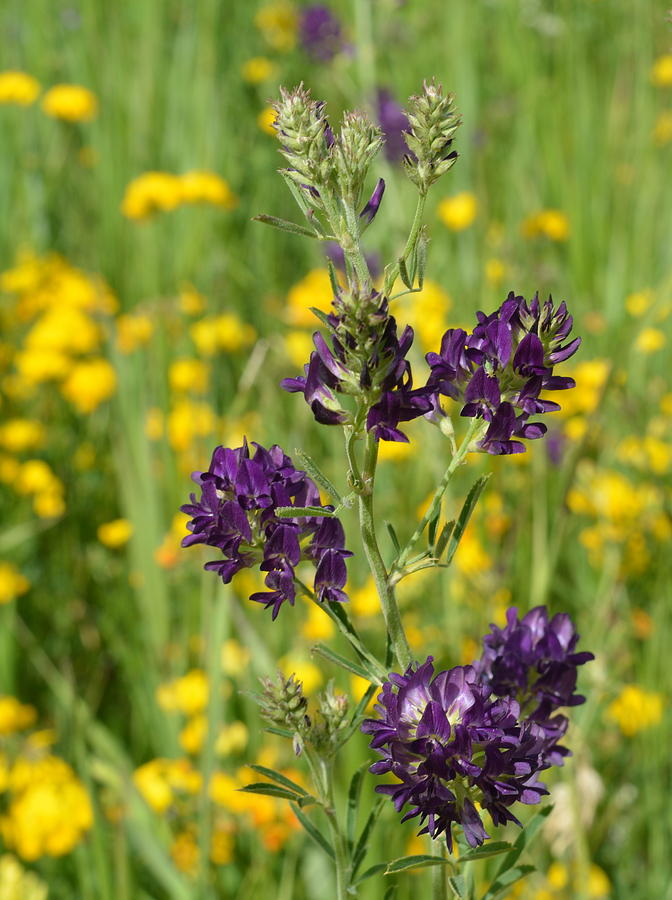 Alfalfa blooms photograph by ed mosier alfalfa photograph alfalfa blooms by ed mosier mightylinksfo