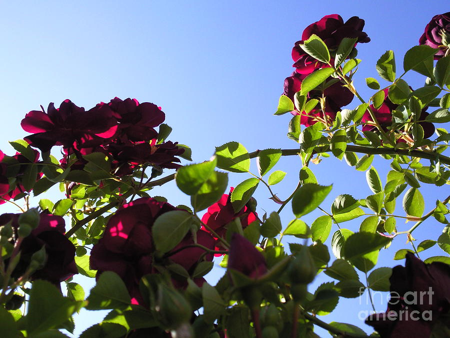 All About Roses And Blue Skies I Photograph by Daniel Henning
