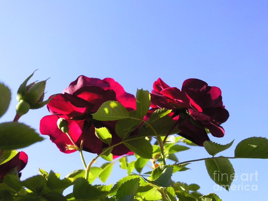 All About Roses And Blue Skies II Photograph by Daniel Henning