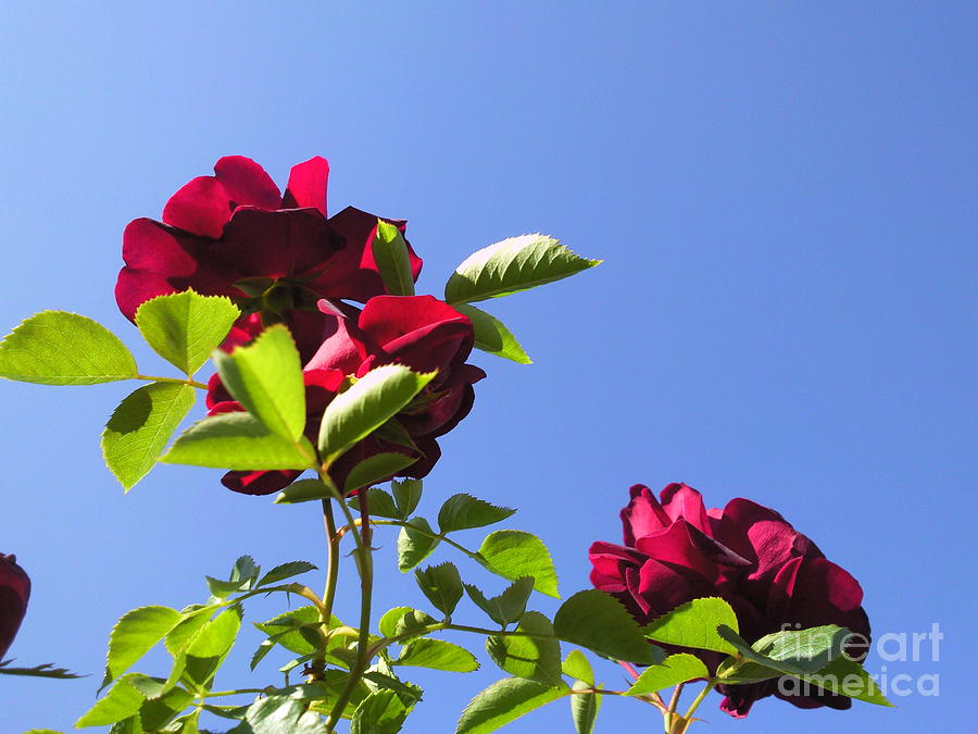 All About Roses And Blue Skies V Photograph by Daniel Henning