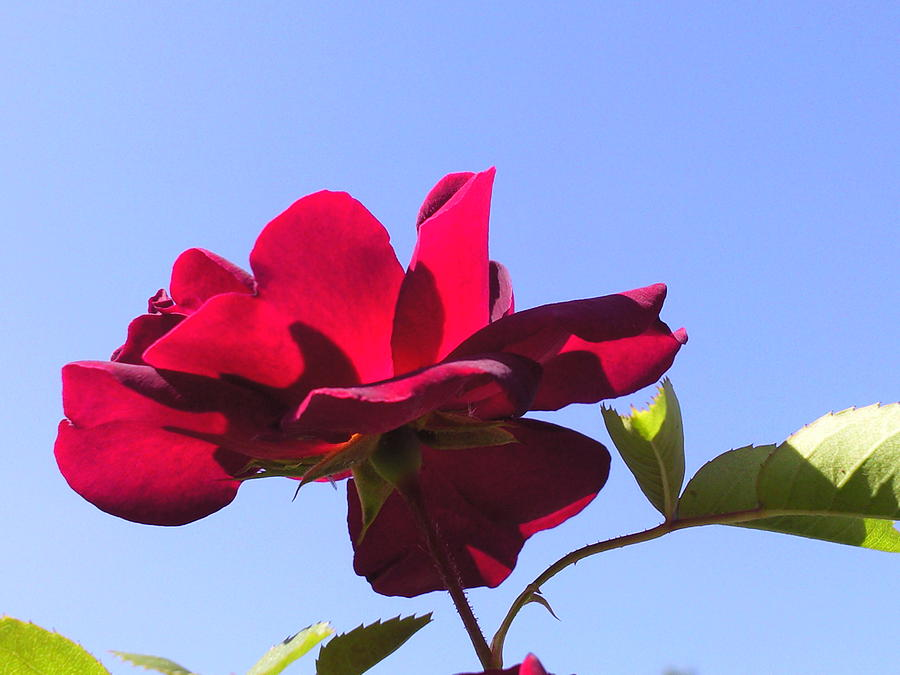 All About Roses And Blue Skies Viii Photograph by Daniel Henning