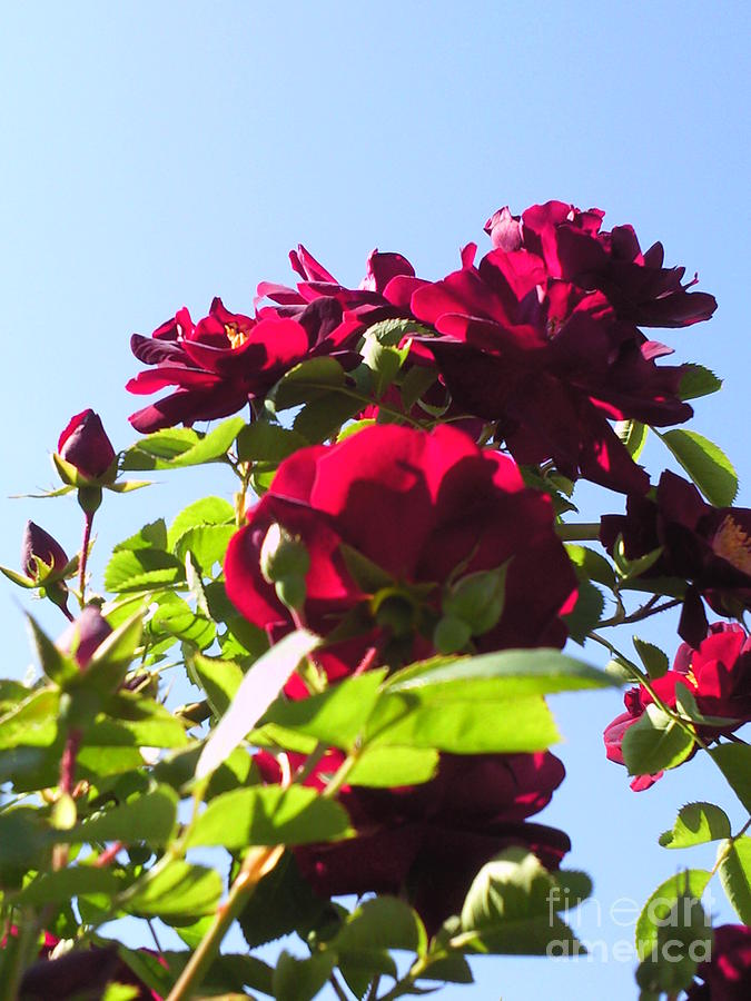 All About Roses And Blue Skies X Photograph by Daniel Henning