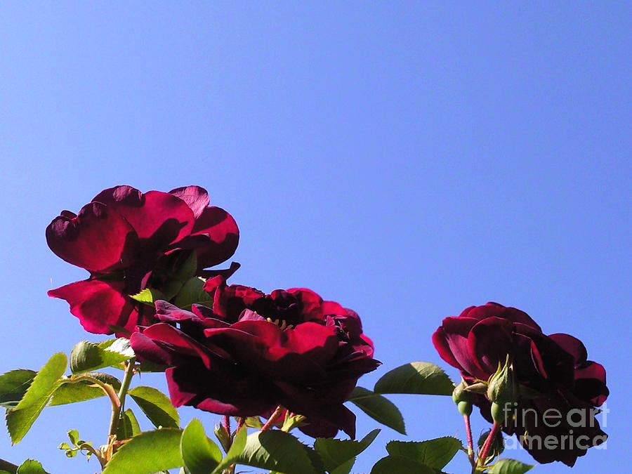 All About Roses And Blue Skies Xi Photograph by Daniel Henning