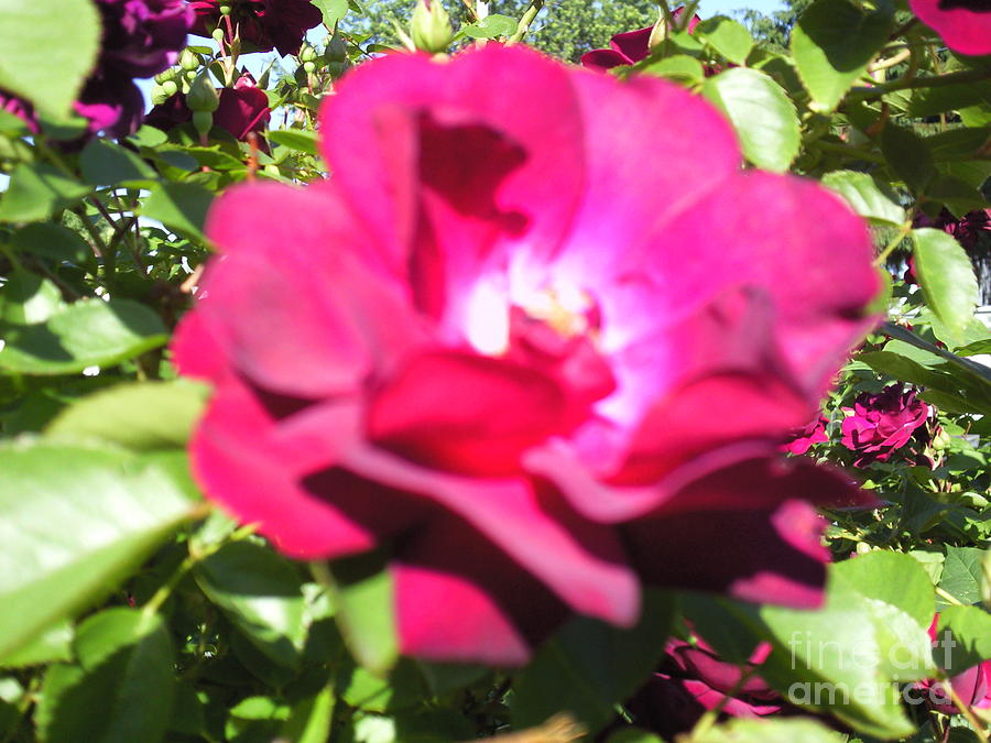 All About Roses And Green Leaves I Photograph by Daniel Henning