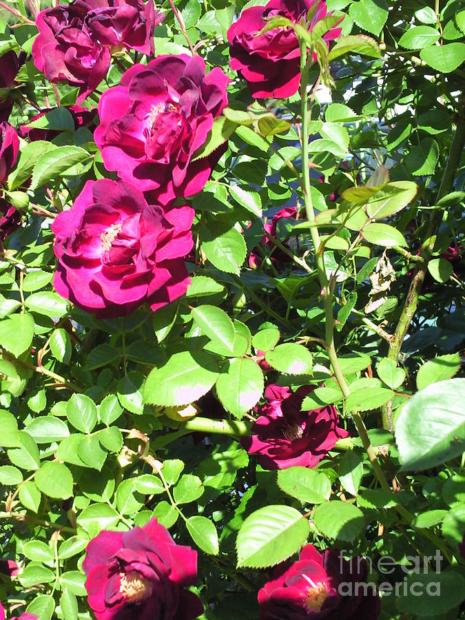 All About Roses And Green Leaves IIi Photograph by Daniel Henning