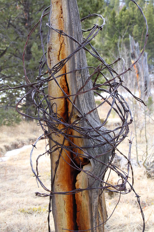 Barbed Wire Photograph - All In A Tangle by Cynthia  Cox Cottam