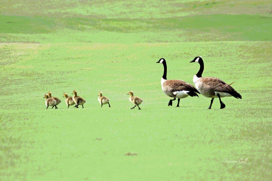 Canadian Geese Photograph - All In The Family II by Suzanne Gaff