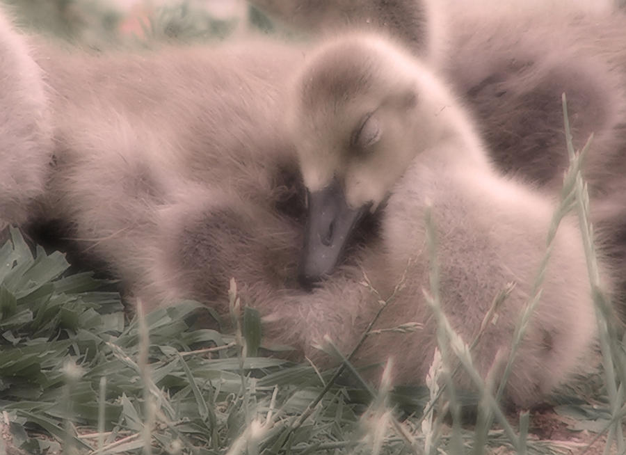 Goose Photograph - All Is Right In My World by Kenneth Krolikowski