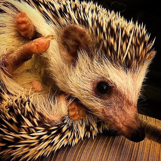Slim Photograph - All Smiles Today 😃 #slim #hedgehog by Emily Botelho