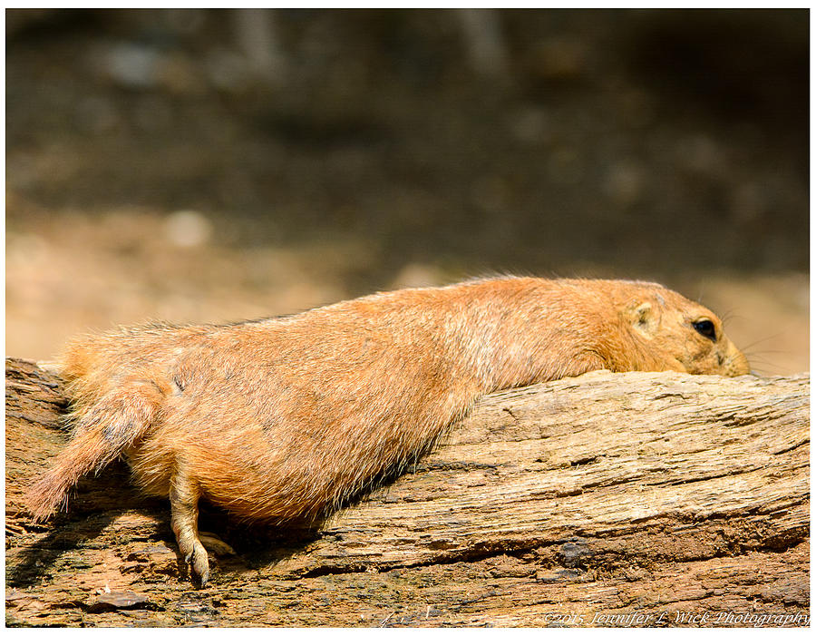 Prairie Dog Photograph - All Stretched Out by Jennifer Wick
