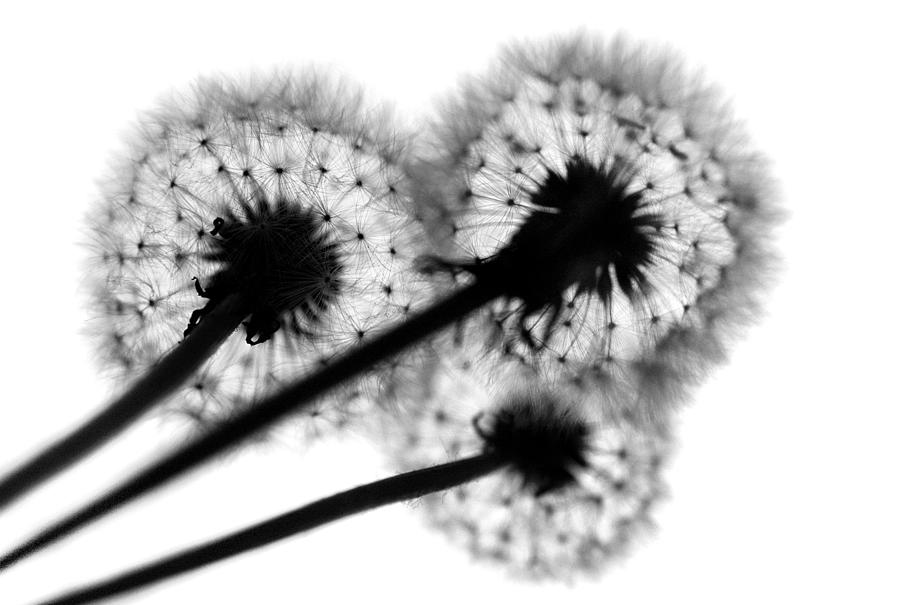 Dandelion Photograph - All Three by Dan Holm