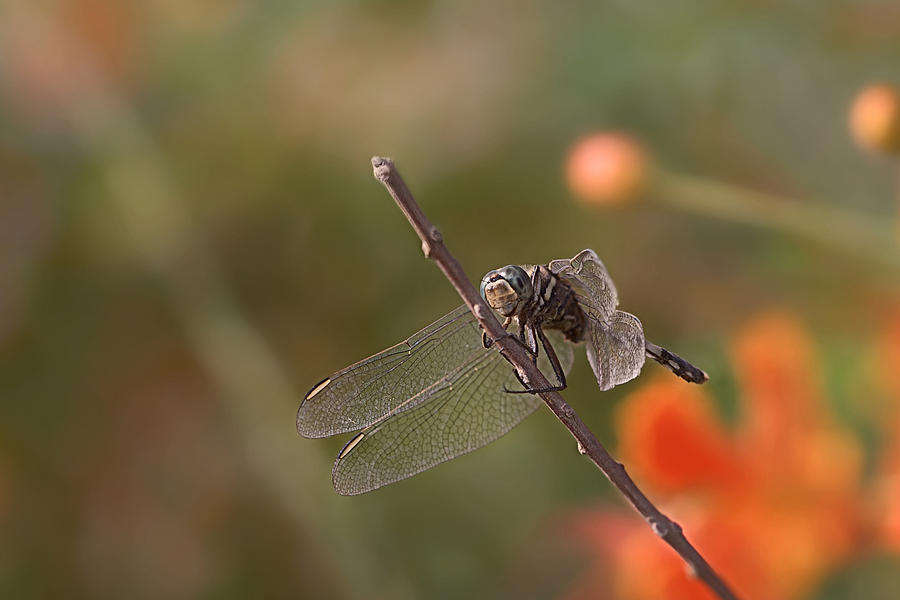 Dragonfly Photograph - All You Birds n Bees Got Nothin On Me by Thorne Owenly