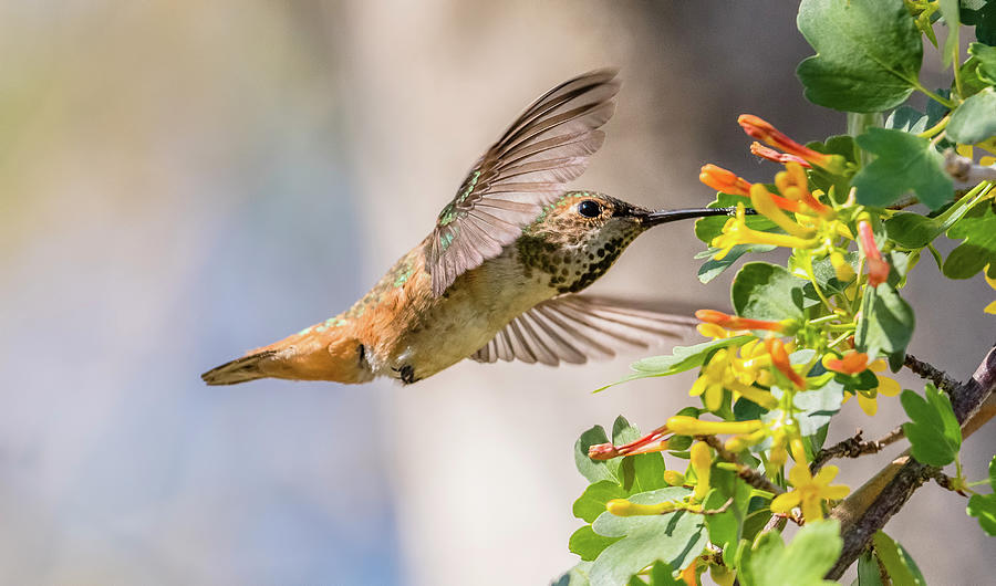 Allen's Hummingbird Photograph - Allens Hummingbird On Golden Currant by Morris Finkelstein