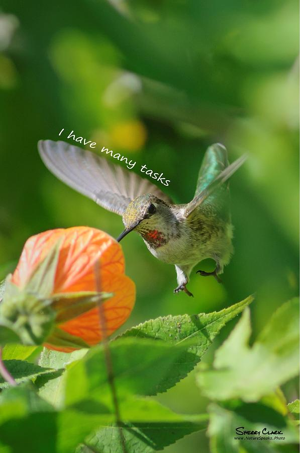 Allens Hummingbird says I have many tasks Photograph by Sherry Clark