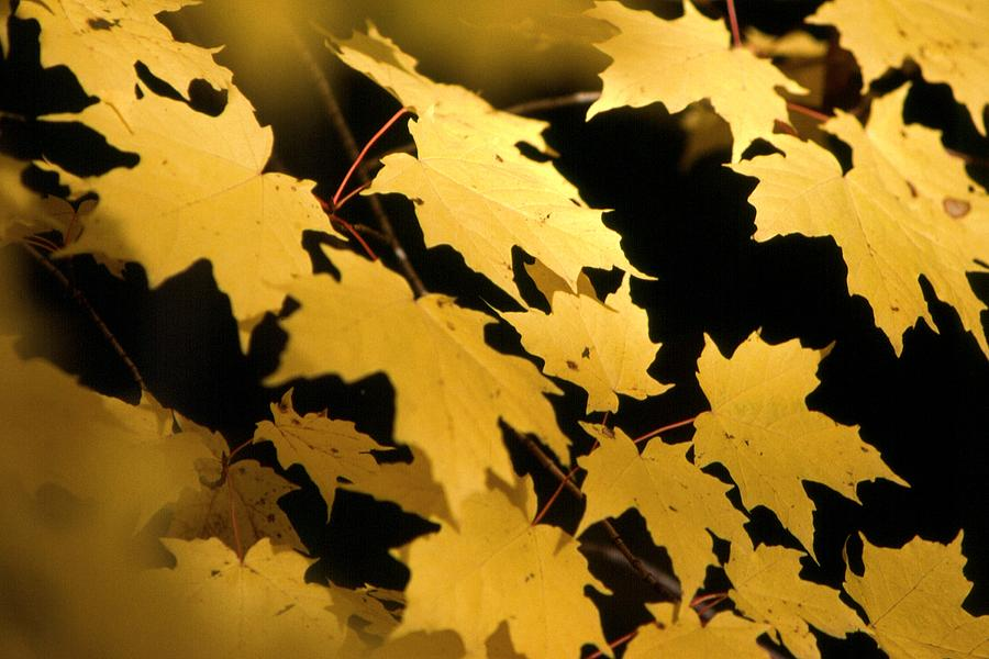 Leaves Photograph - Allgonquin Colors by Harley J  Winborn