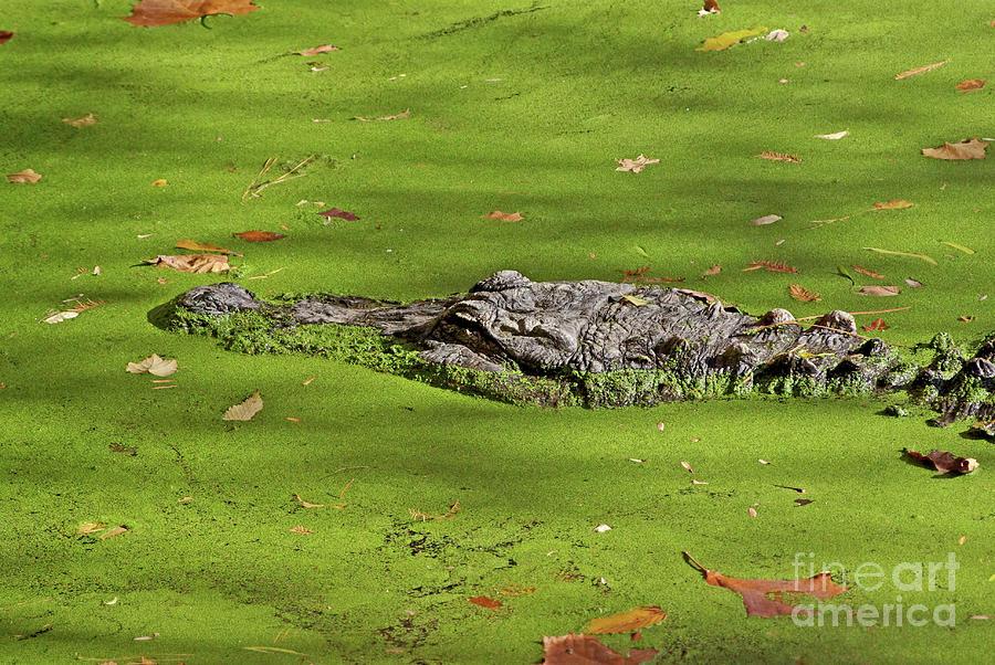 Alligator Photograph - Alligator In Sun by Liz Masoner