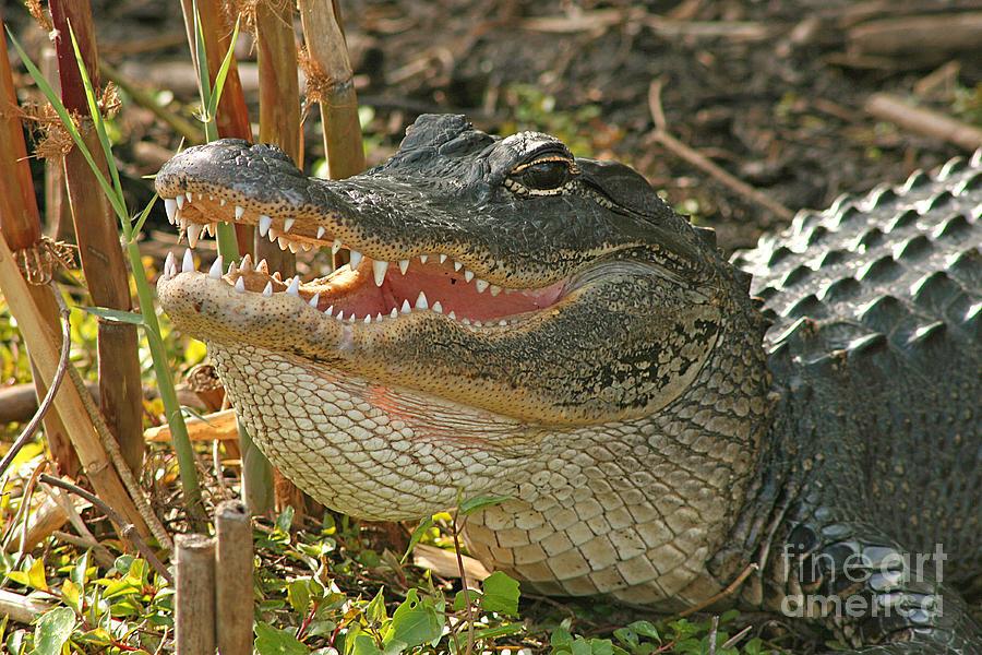 Alligator Photograph - Alligator Showing Its Teeth by Max Allen