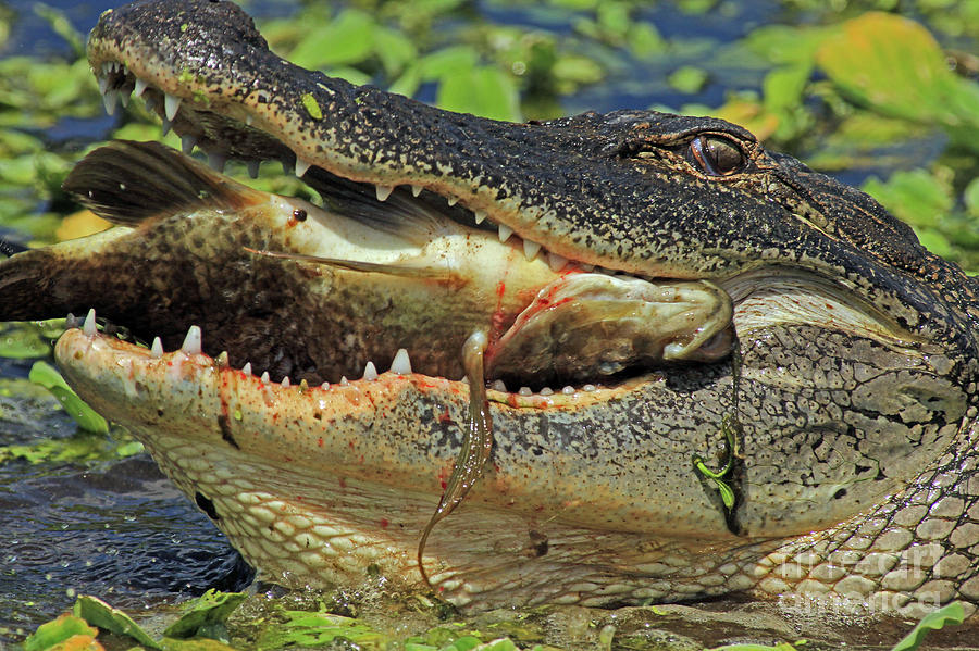 Alligator Photograph - Alligator With Tilapia by Larry Nieland