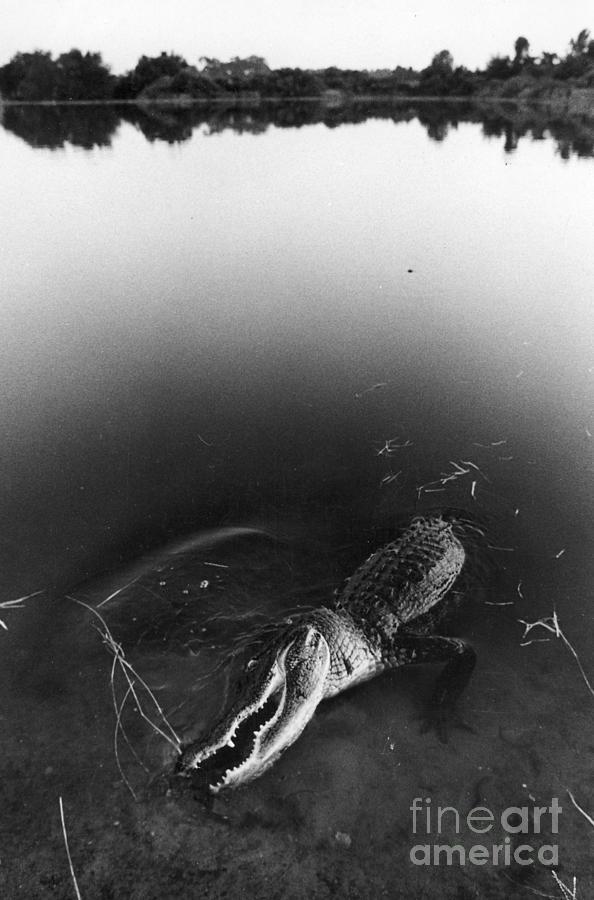 Alligator Photograph - Alligator1 by Jim Wright