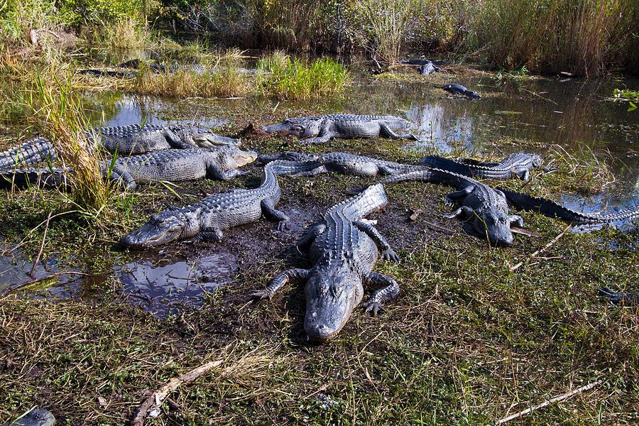Alligators 280 by Michael Fryd