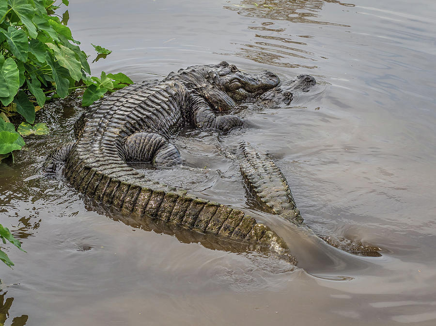 Alligators Courting by Steve Zimic