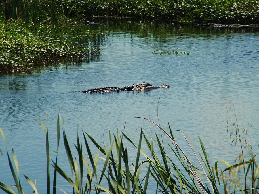 Alligators Photograph by Nereida Slesarchik Cedeno Wilcoxon