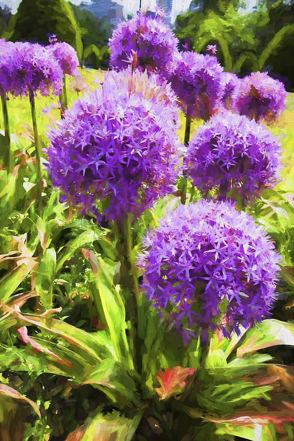 Allium Flowers Photograph - Allium Flowers by Carlos Diaz