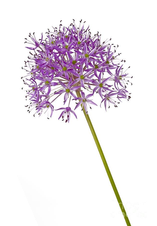 Allium Photograph