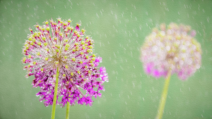 Allium Photograph - Alliums in the Rain by Phillips and Phillips