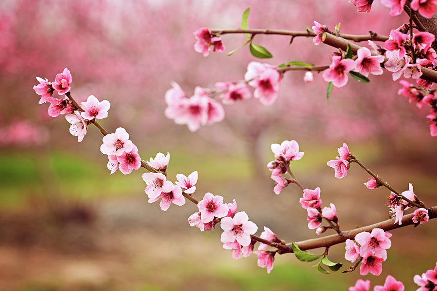 Almond Blossom Spring Background Beautiful Pink Spring Tender