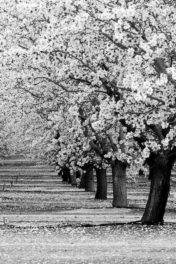 Landscape Photograph - Springtime In The Almond Fields by Terra Bella Fine Art Photography