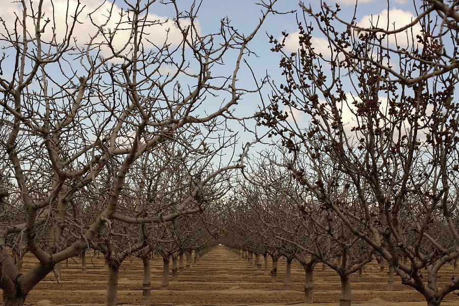 Orchard Photograph - Almond Orchard by Denice Breaux