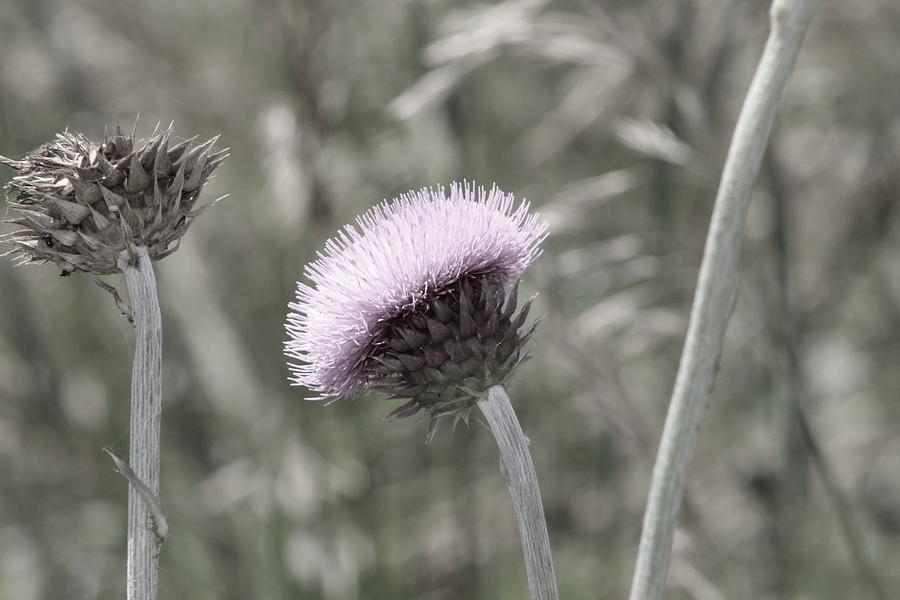 Thistle Photograph - Almost Black And White Pale Purple Thistle Flower Photograph by Colleen Cornelius