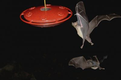 Bats Photograph - Almost There by Arnold Quentin