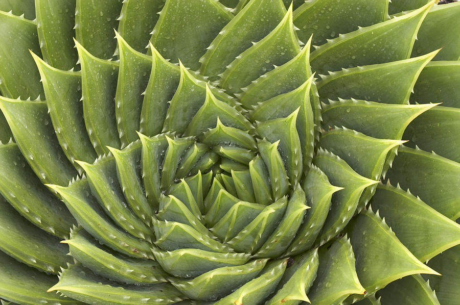 Aloe Photograph - Aloe Polyphylla by Geoff Bryant