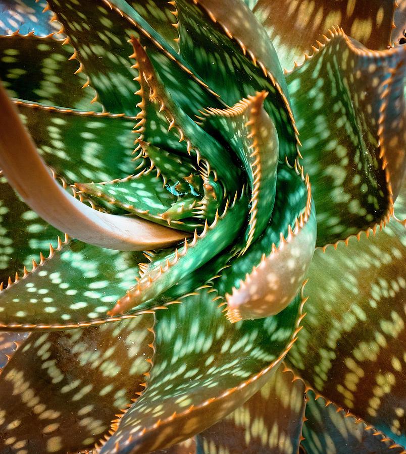 Aloe Photograph - Aloe Saponaria, Soap Aloe Maculata by Frank Tschakert