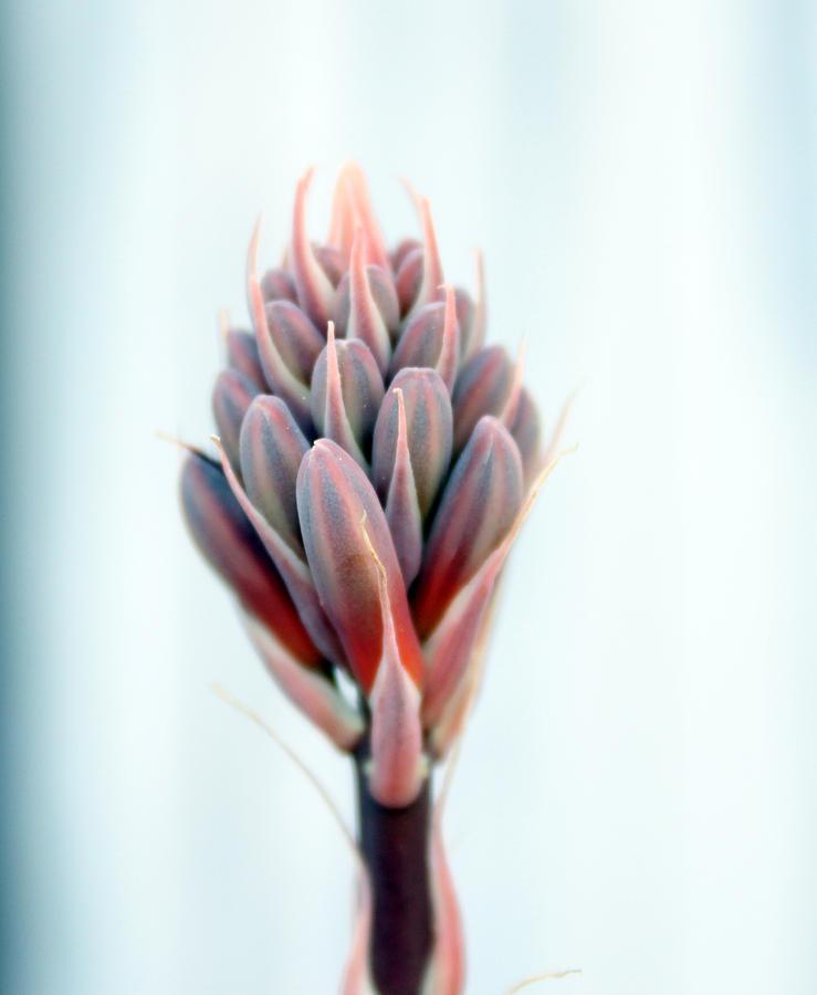 Aloe Vera Photography Photograph - Aloe Vera Bloom by Evelyn Patrick