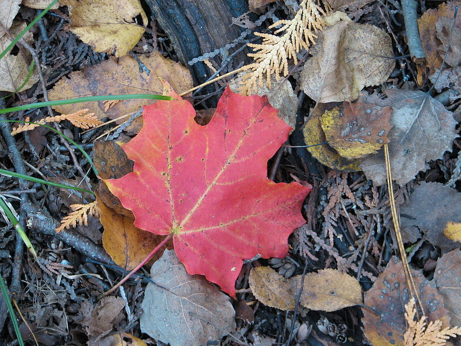 Leaves Photograph - Alone In The Woods by Kelly Mezzapelle