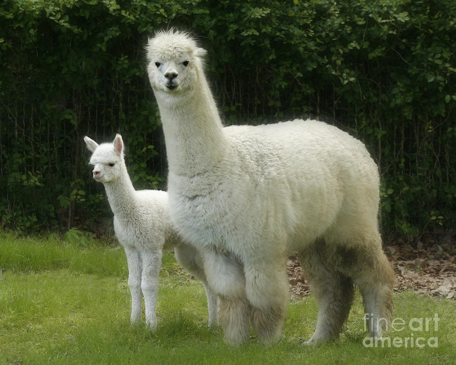 Alpaca Photograph - Alpaca And Foal by Garry McMichael