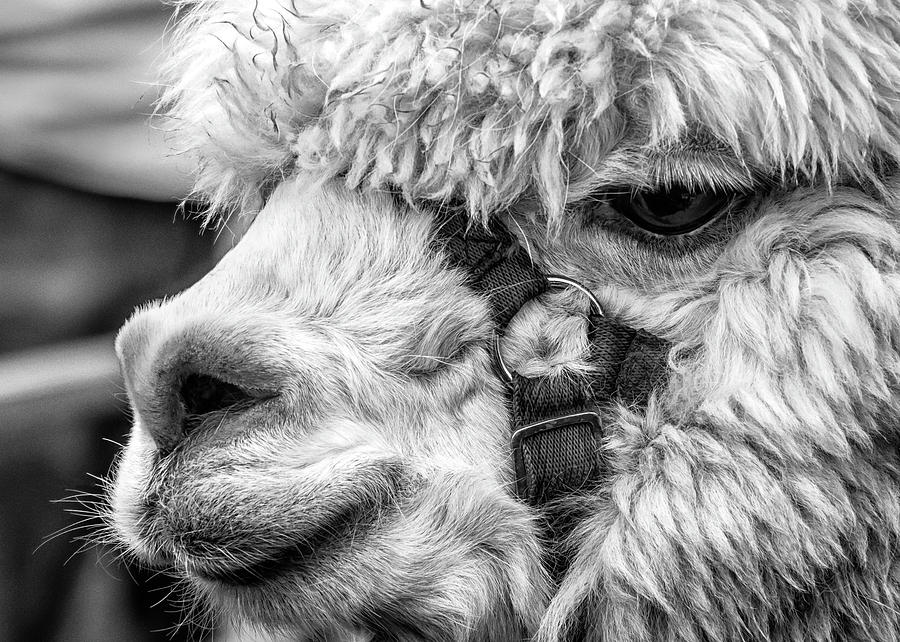 Alpaca Photograph - Alpaca Close by Nick Bywater