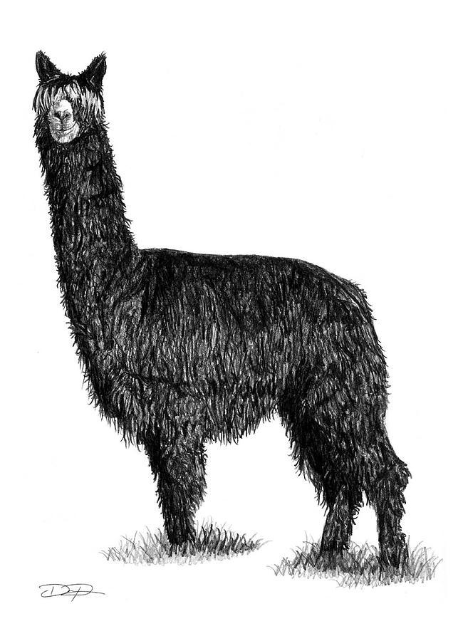 Alpaca Drawing - Alpaca Fine Art by Dan Pearce