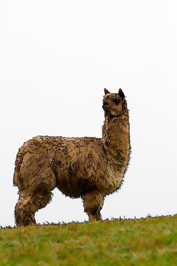 Alpaca Like A Small Llama Illustration Brown And Hairy ...