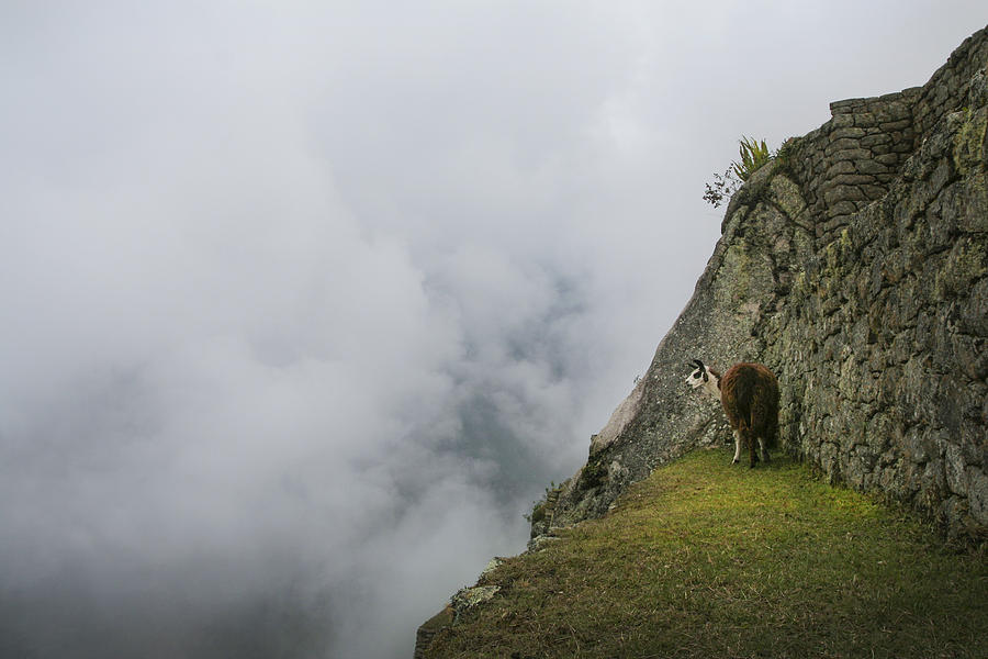 Alpaca on the Edge by Jed Holtzman
