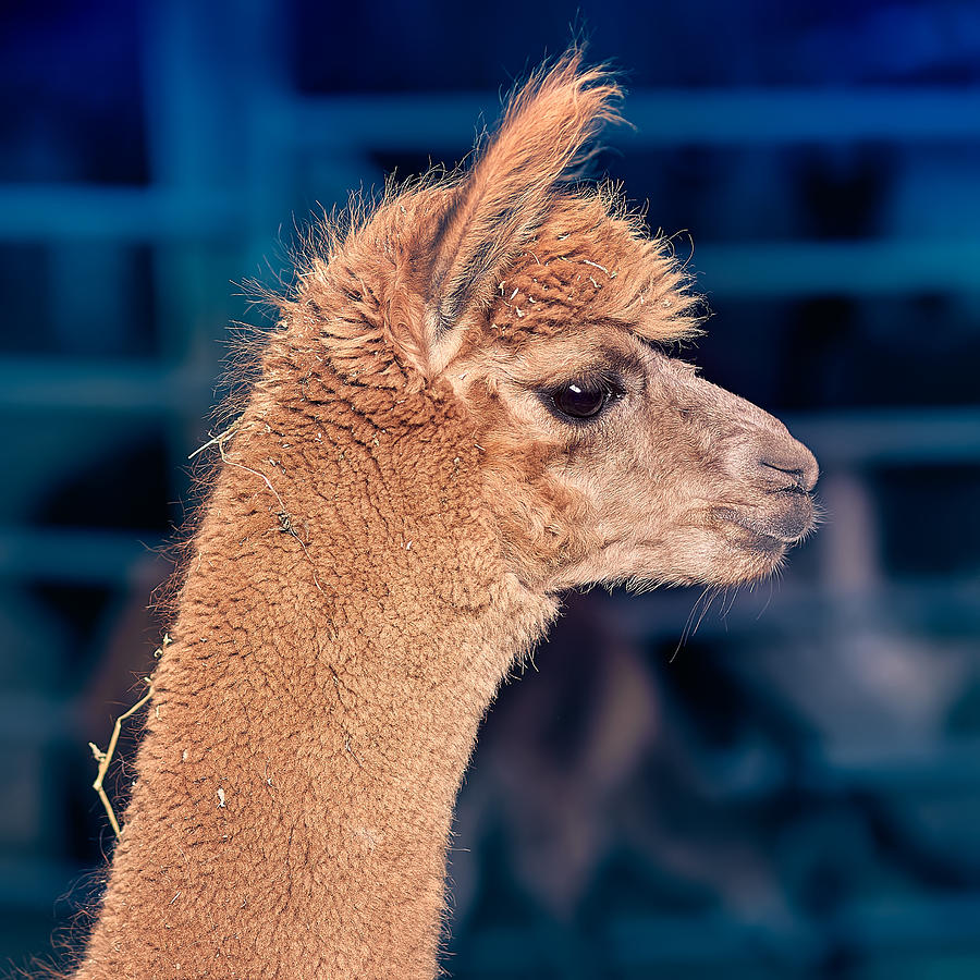 Alpaca Photograph - Alpaca Wants To Meet You by TC Morgan