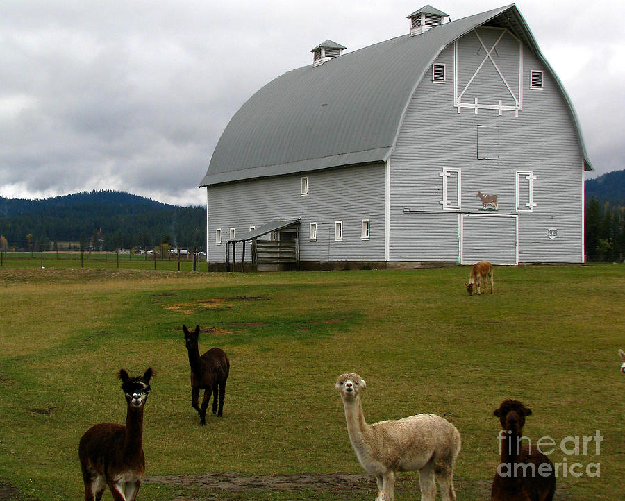 Patzer Photograph - Alpacas by Greg Patzer