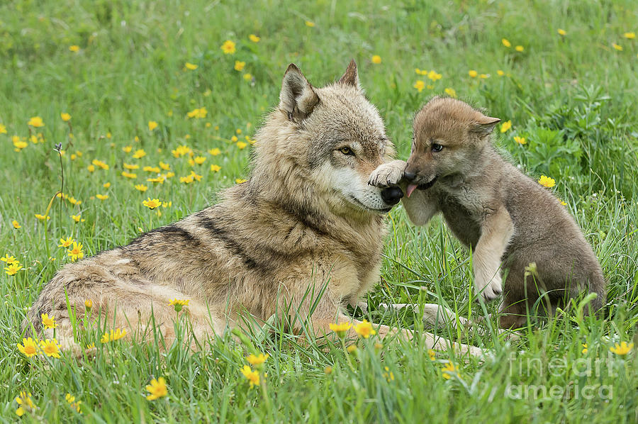Alpha Female Wolf Playing With Pup